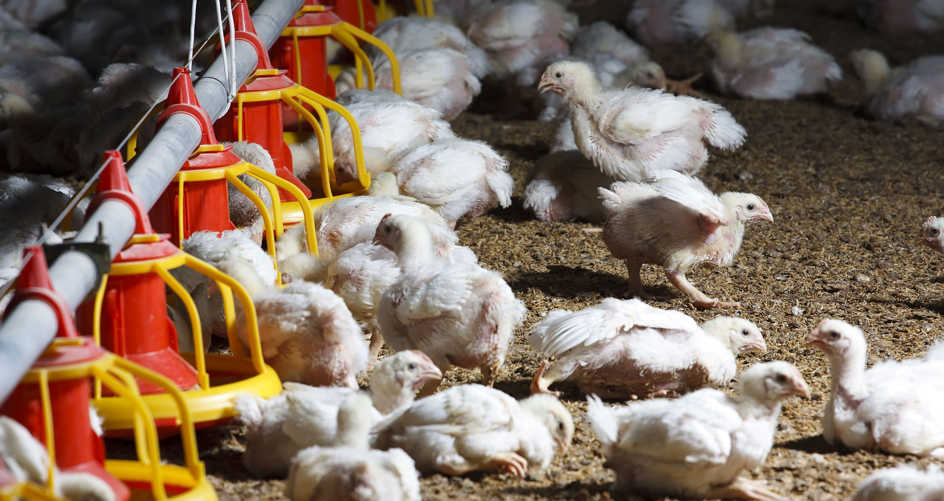 Inside industrialized chicken farm
