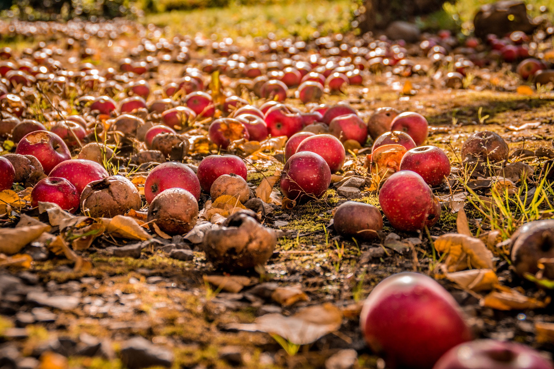 Rotting apples on the ground