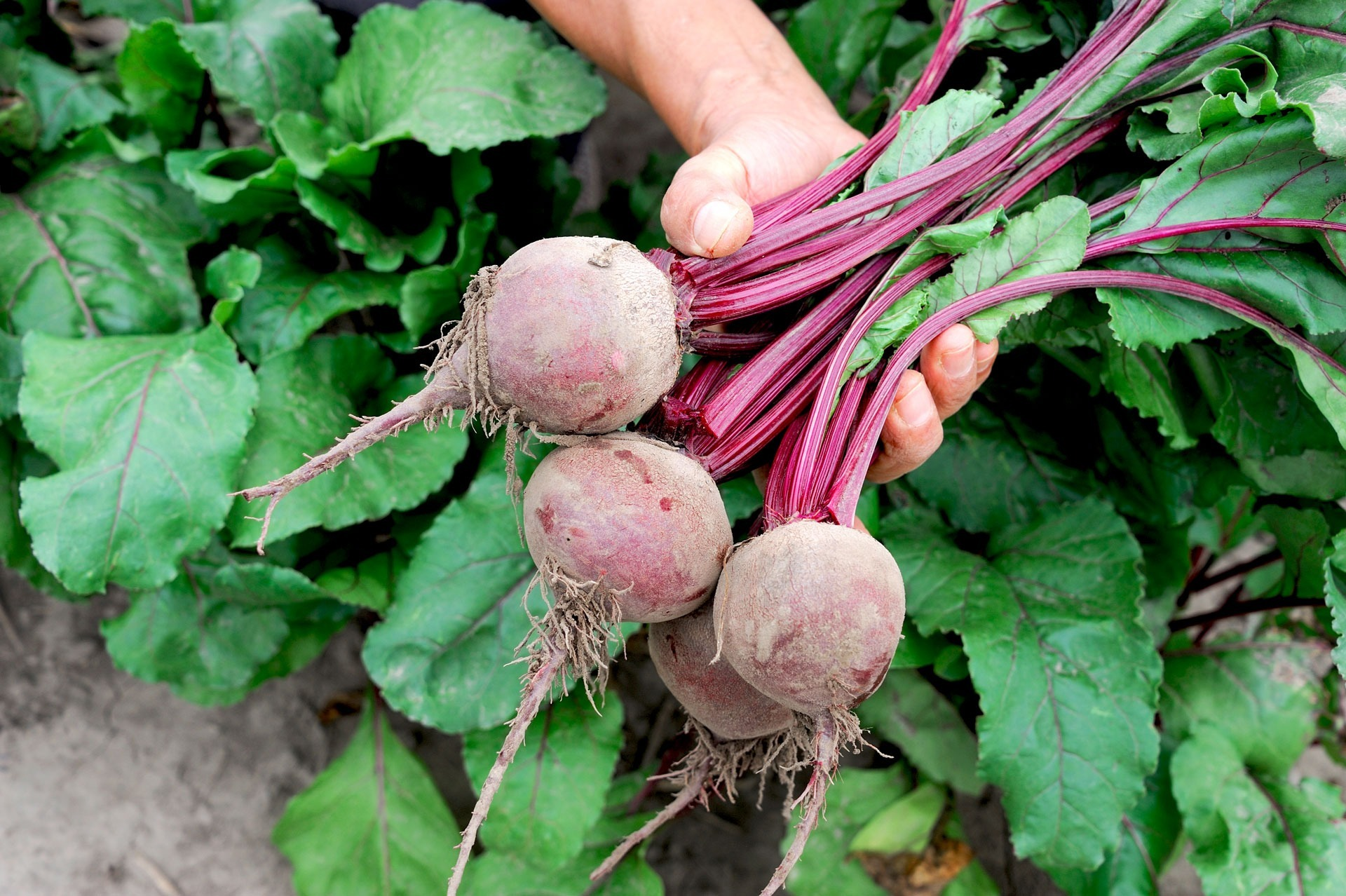 Freshly picked bunch of beets in hand