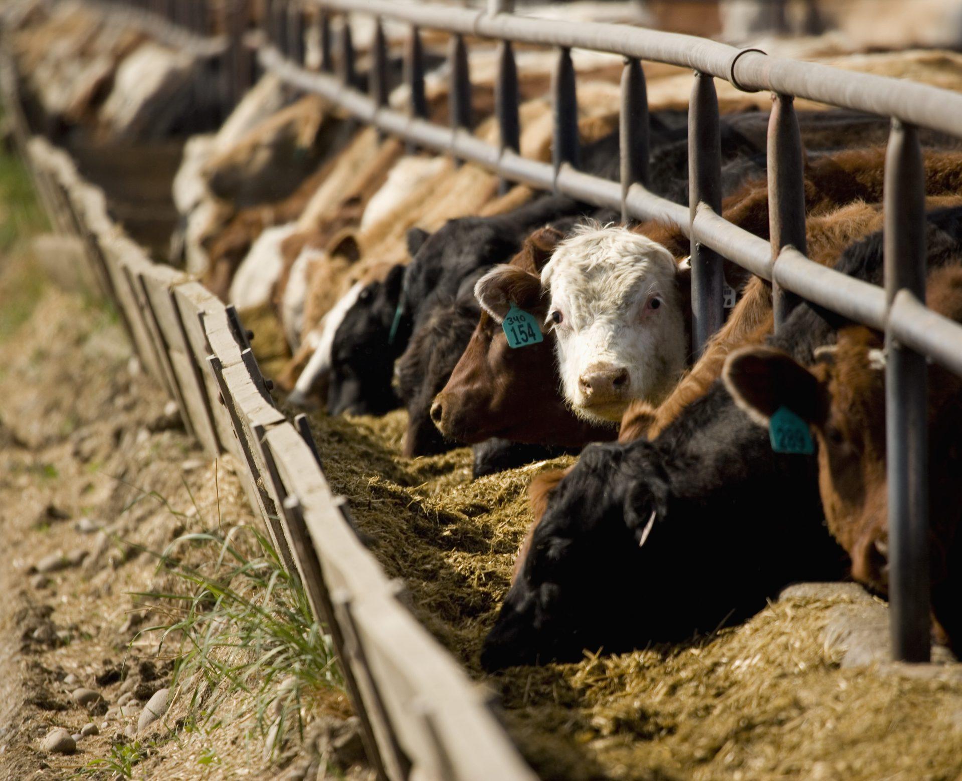 The FoodPrint of Beef | FoodPrint