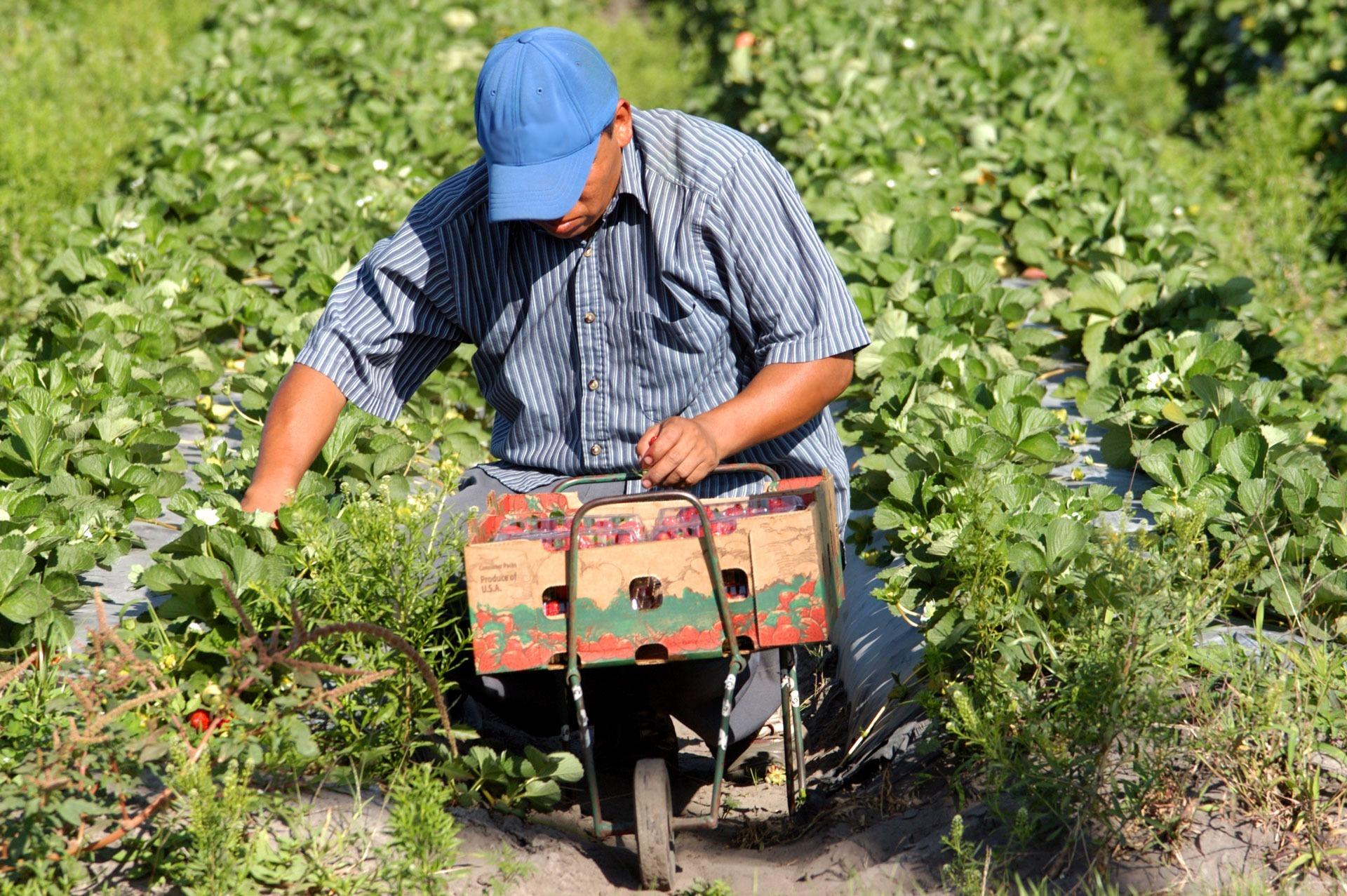 Worker picking strawberries