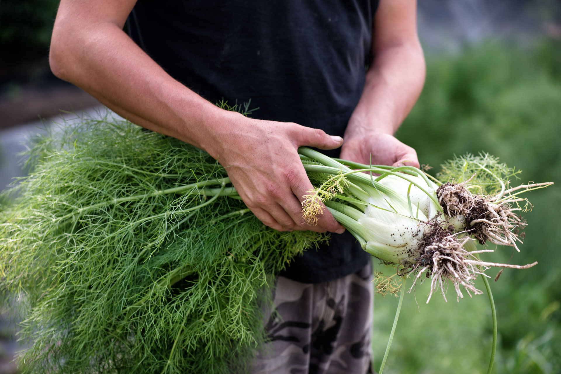 How To Use Fennel Stalks And Fronds Foodprint
