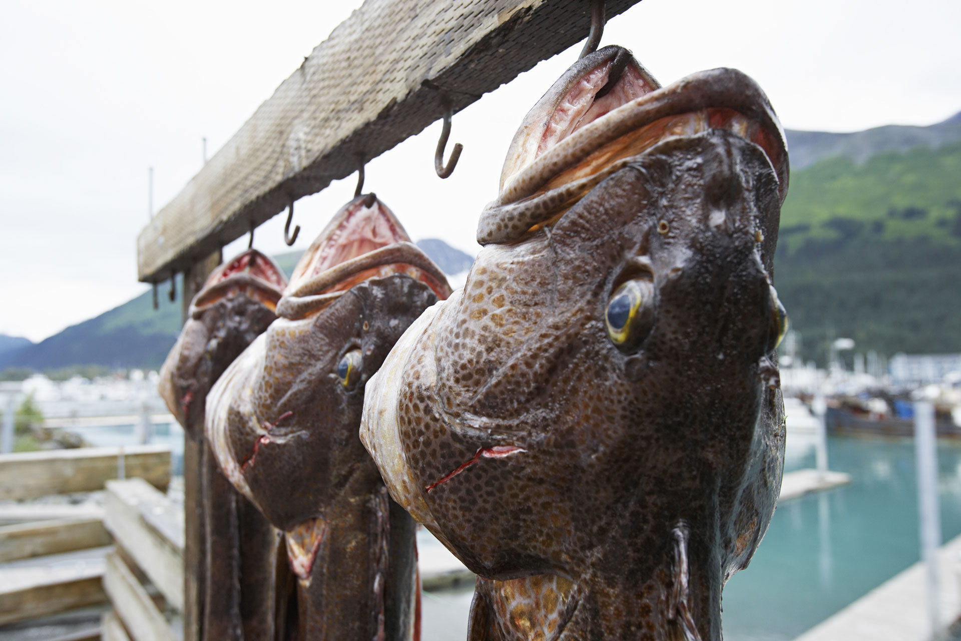 Closeup of three dead ling cods hanging on hooks, Alaska, USA