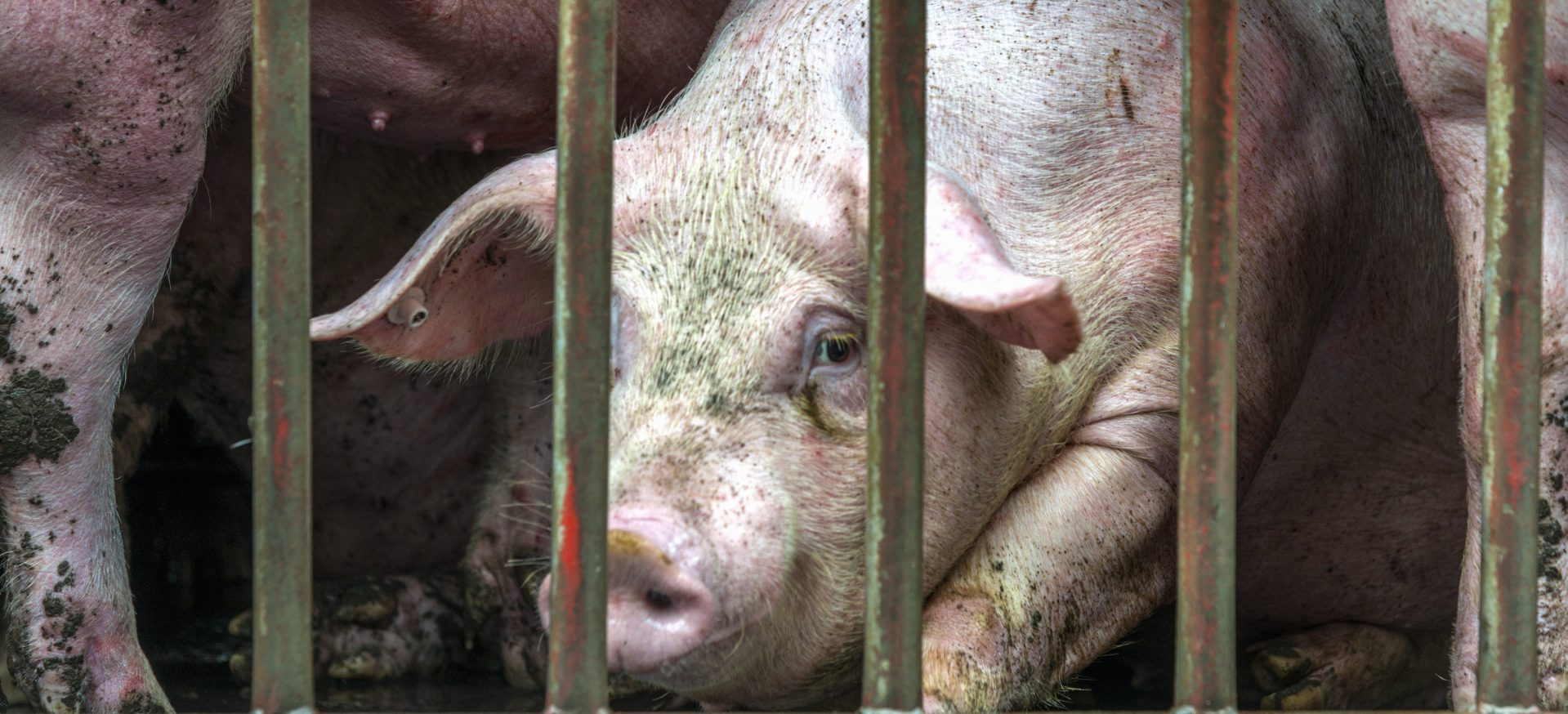 Issues in Food Production Industrial Pig production