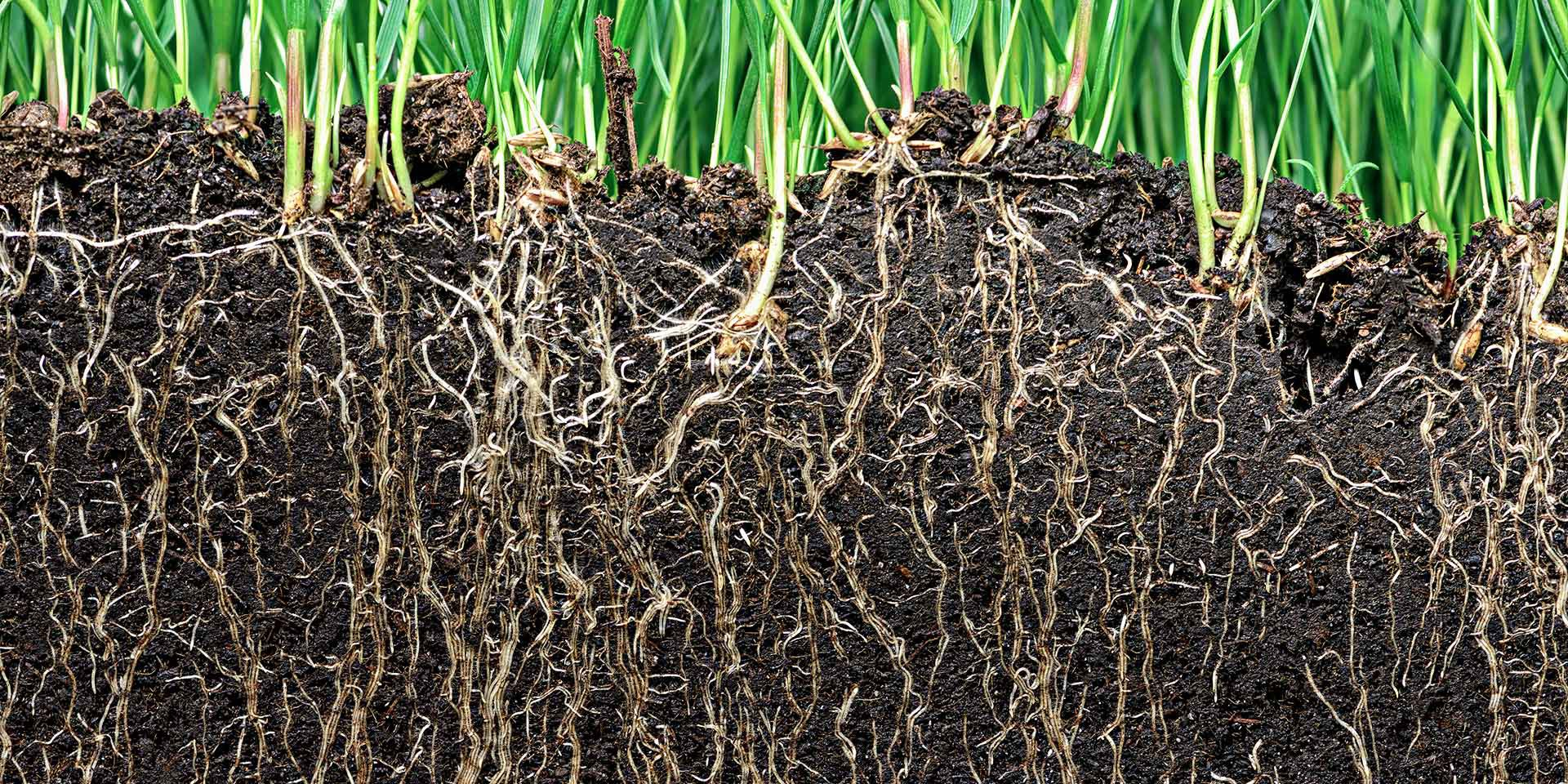 what is soil important ; cross section of roots growing in soil