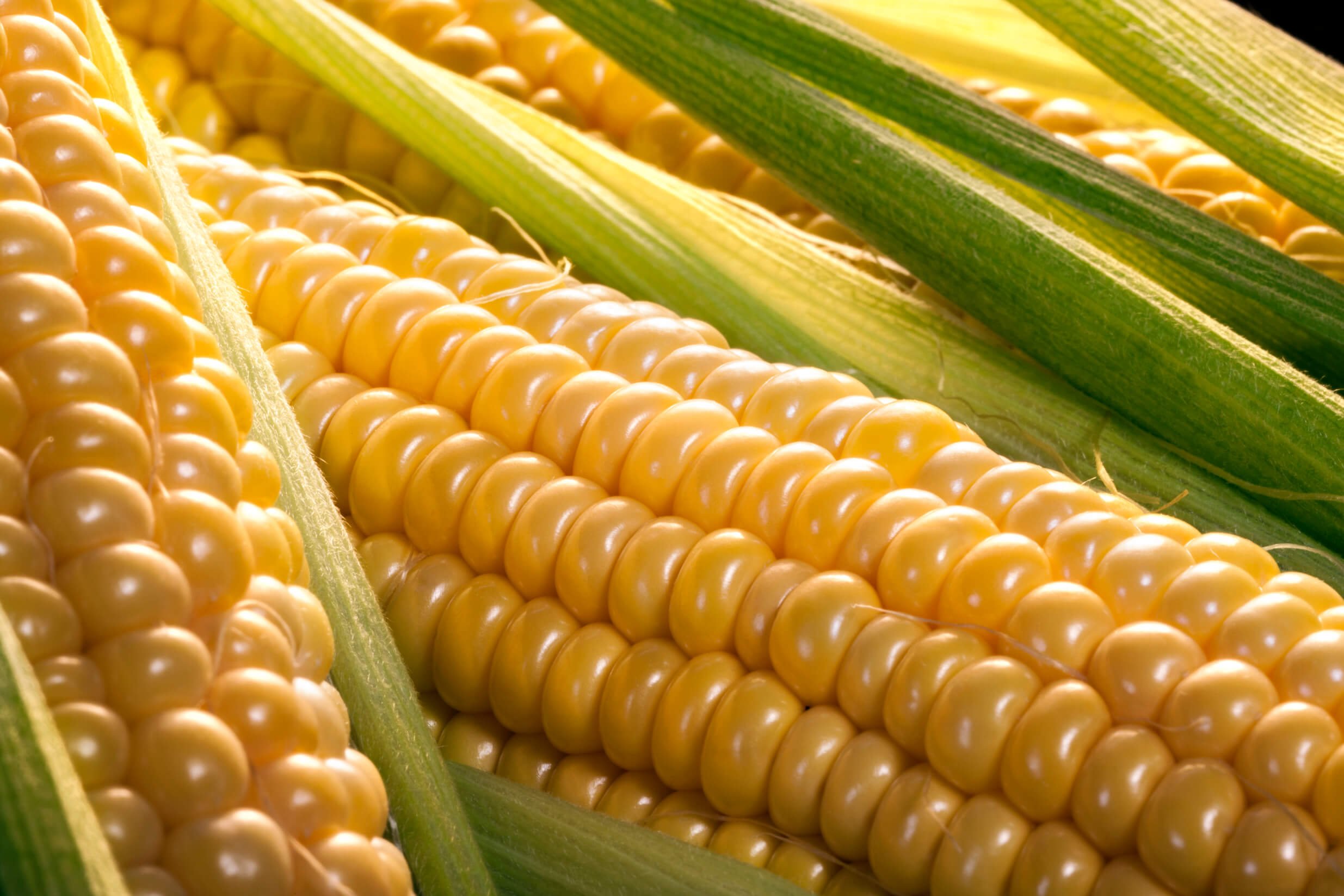 corn is a primary ingredient for tortillas